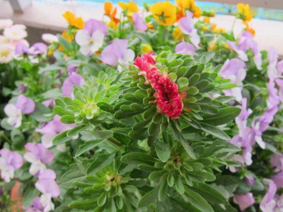 アスター 菊 スカーレット 鉢植え 写真 画像 赤