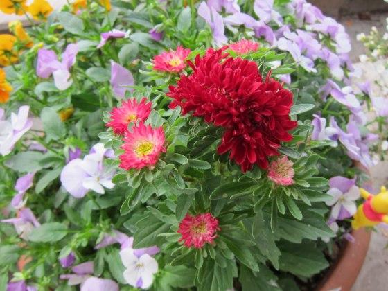 アスター 菊 スカーレット 鉢植え 写真 画像 赤 つぼみ
