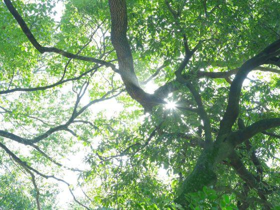 木漏れ日 森林 木 写真 画像 癒し 癒やし マイナスイオン 晴天