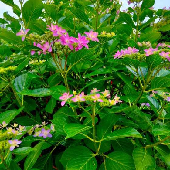 ガクアジサイ 紫陽花 写真 画像 綺麗 美しい 紫 ピンク 梅雨 六月