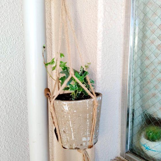 アイビー グリーン 観葉植物 写真 画像
