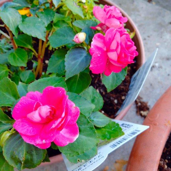 バラ咲き インパチェンス 画像 写真 ピンク