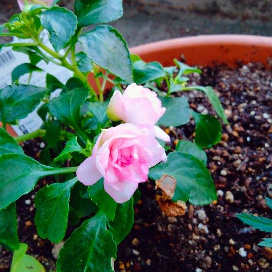 バラ咲き インパチェンス 画像 写真