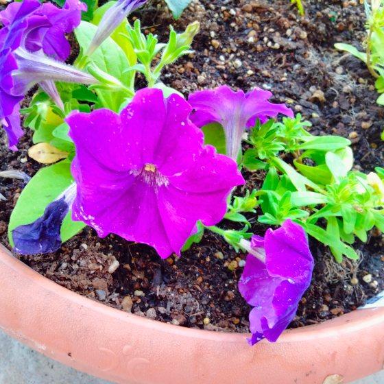 サフィニア ペチュニア 花 紫 きれい かわいい 写真 画像