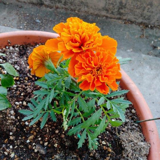 マリーゴールド オレンジ きれい 写真 画像