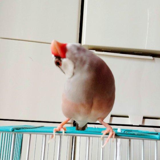 文鳥 首を傾げる かわいい 写真 画像