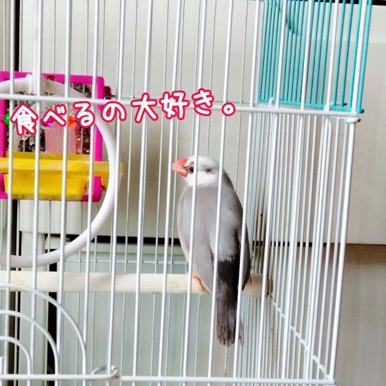 文鳥 桜文鳥 ごま塩文鳥 写真 画像 成鳥