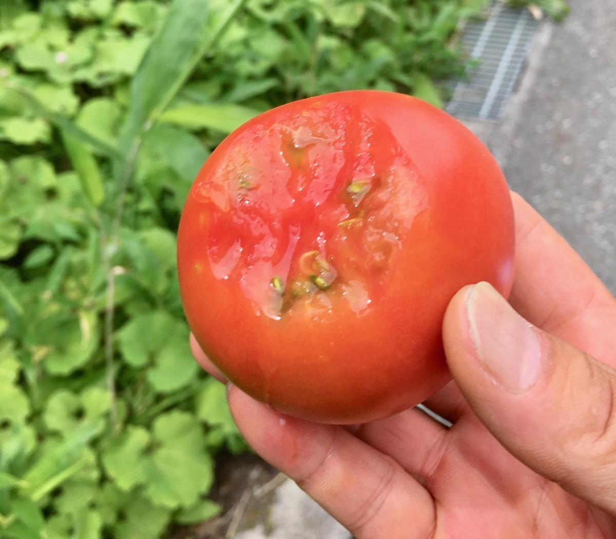 瑞々しくて甘くて美味いトマト