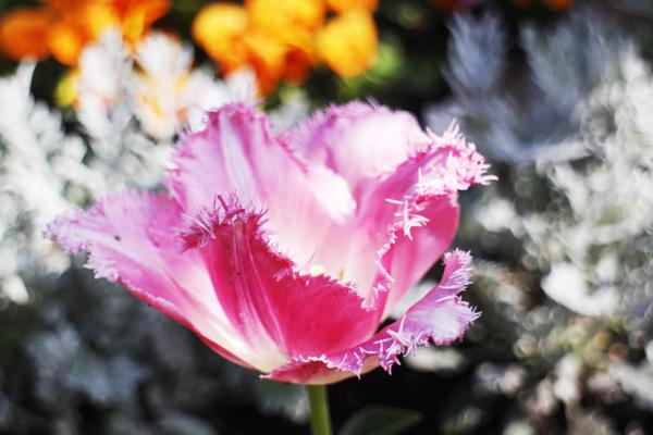 花びらの形が変わったチューリップ