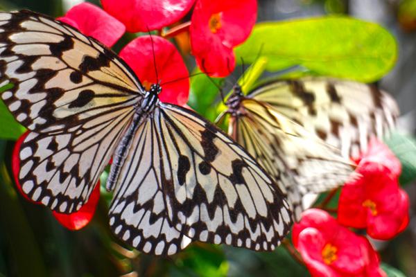 オオゴマダラという蝶々が綺麗でした