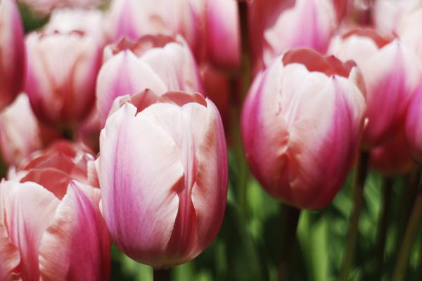 ピンクのチューリップが一番綺麗だと思います