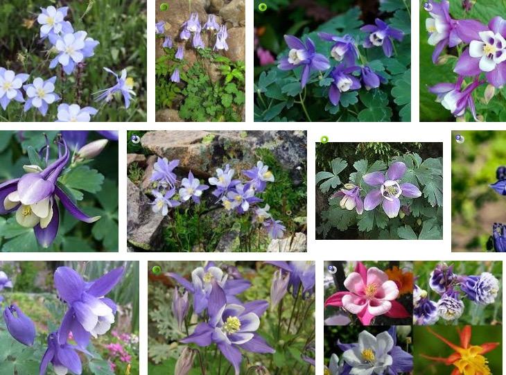 可愛い花だけど有毒植物のオダマキ