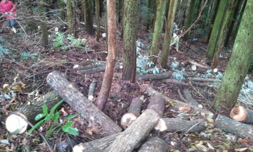 原木となるクヌギ