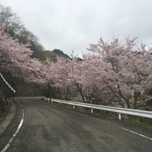 梅ノ木の桜