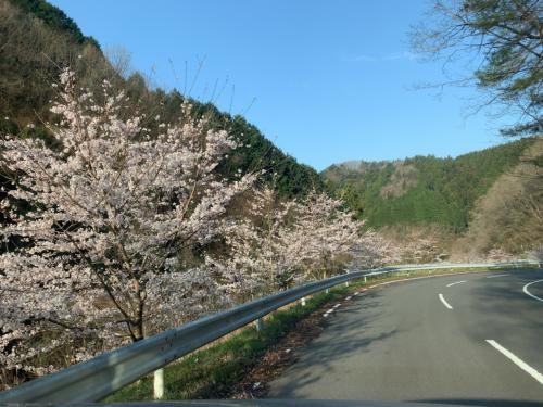 植樹した桜並木