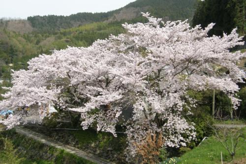 安別当の桜