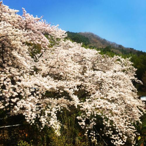 安別当の桜2
