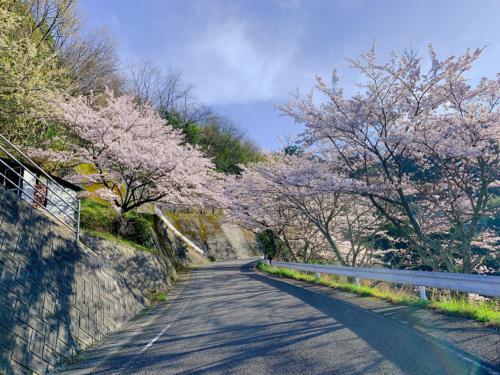 梅ノ木地区の桜