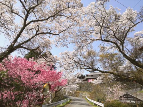 中替地地区の桜