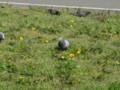 県庁でタンポポがたくさん咲いていましたよ