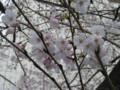 京都の桜がそろそろいい感じでした!