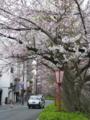披露宴会場付近、高瀬川の桜。夜はライトアップするようです。