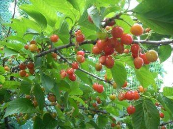 熟れつつある桜桃の実