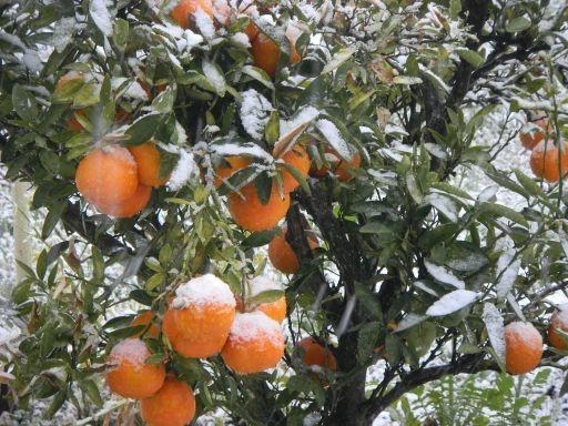 季節外れの雪にさらされる伊予柑