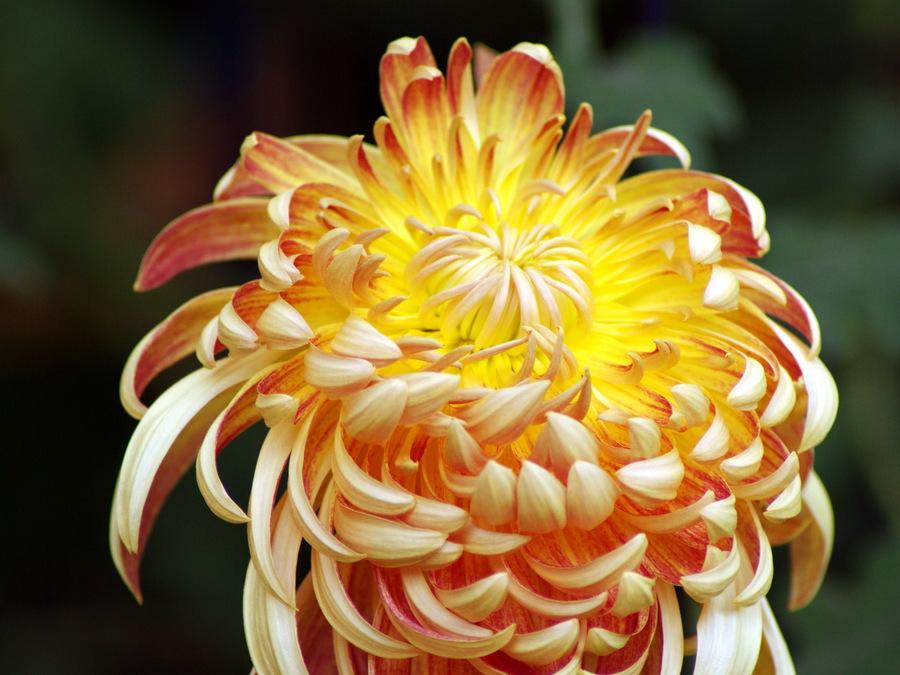 菊の画像 p1_25