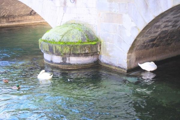リマト川には白鳥もたくさん
