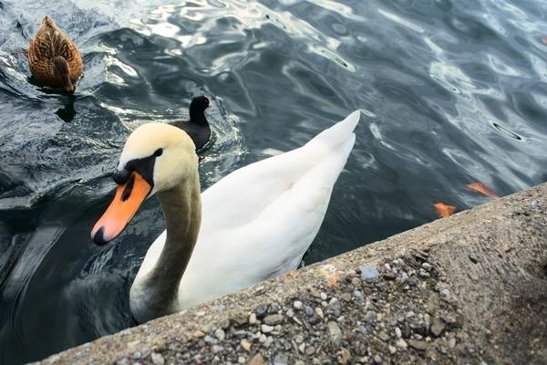 チューリッヒ湖にいた可愛い白鳥