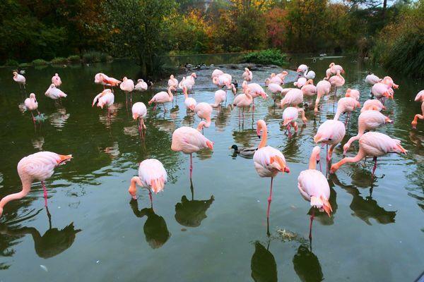 ベルン動物園にいるピンクのフラミンゴ
