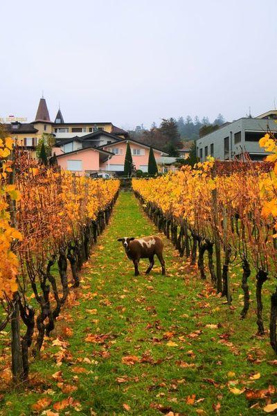 リヒテンシュタインのブドウ畑で見つけた羊