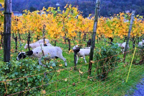リヒテンシュタインのブドウ畑にたくさん居た羊たち