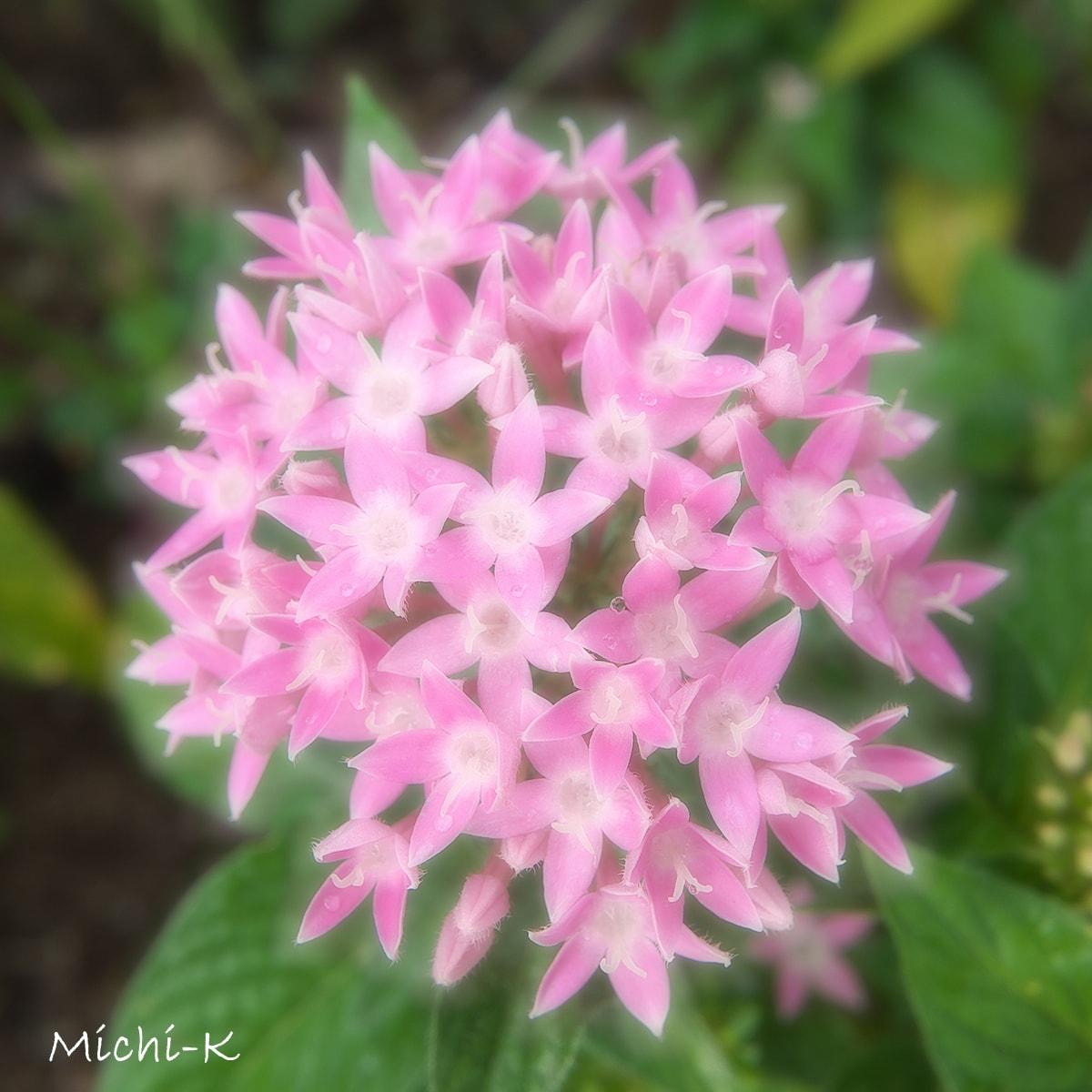 ペンタス-花言葉は希望