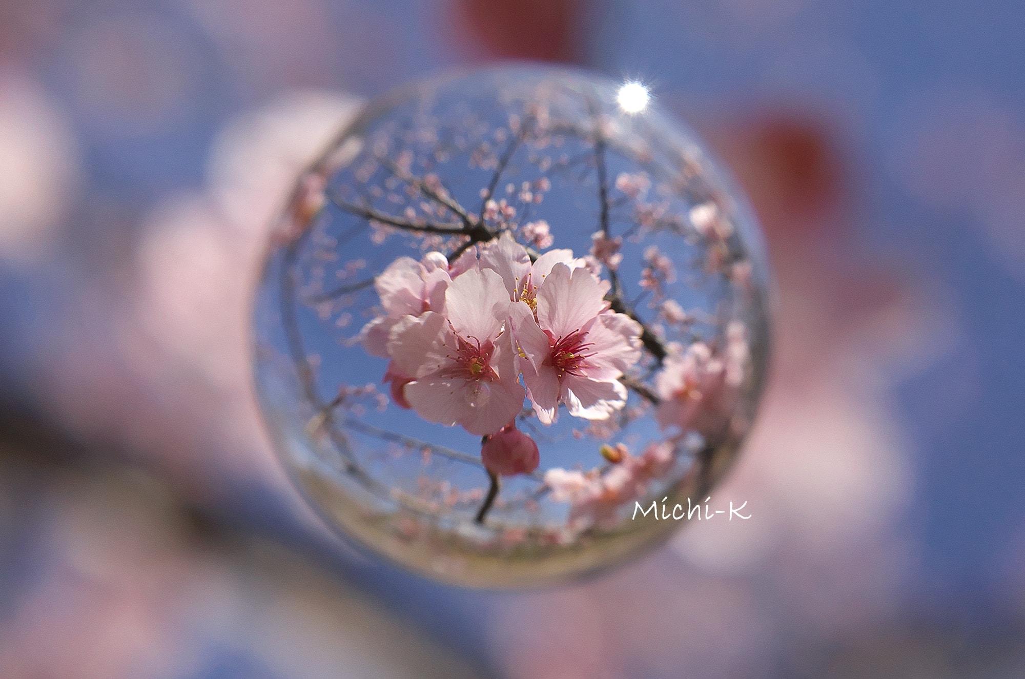 修善寺寒桜-そらたま
