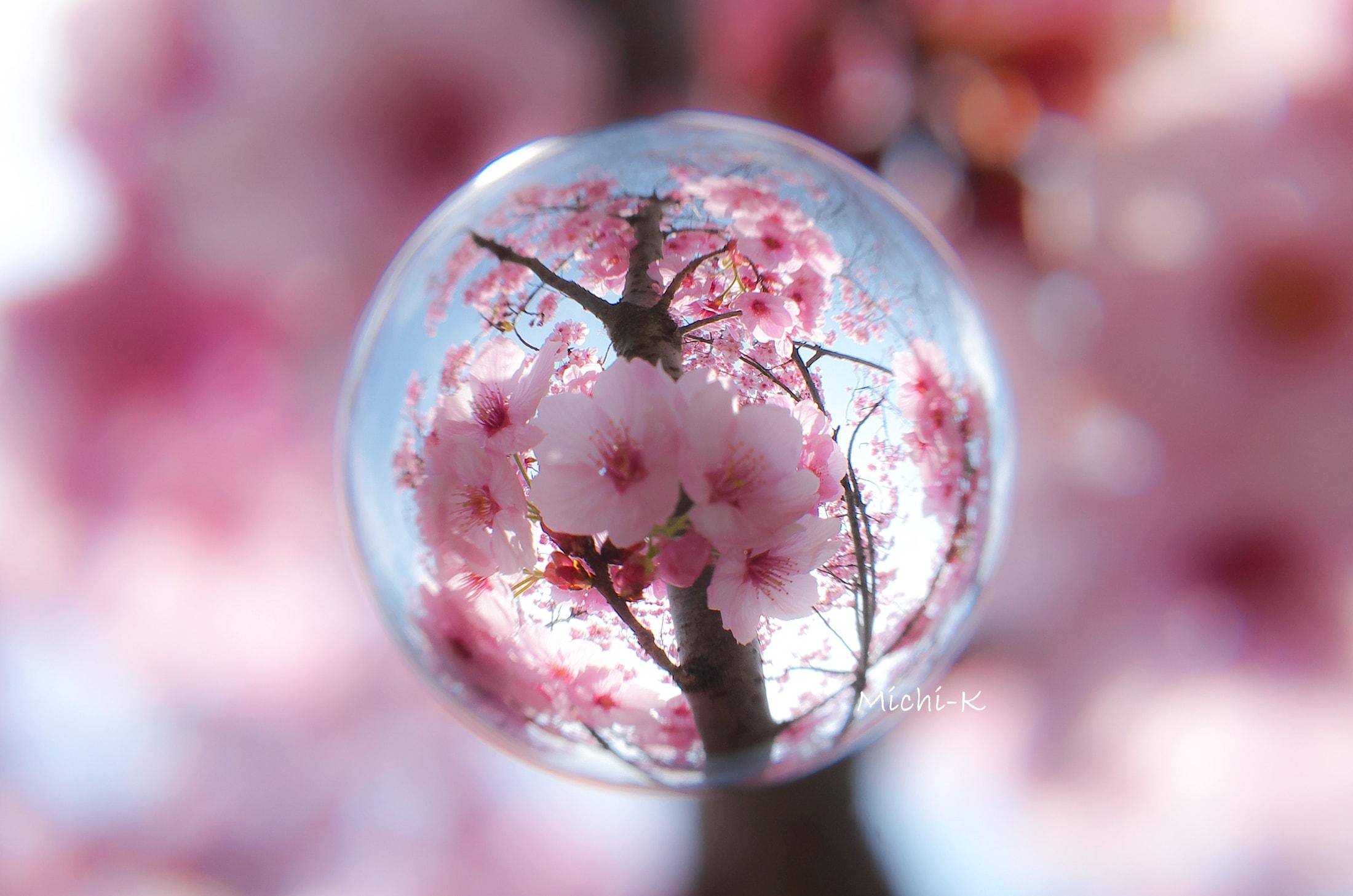 桜 (陽光) -そらたま-3