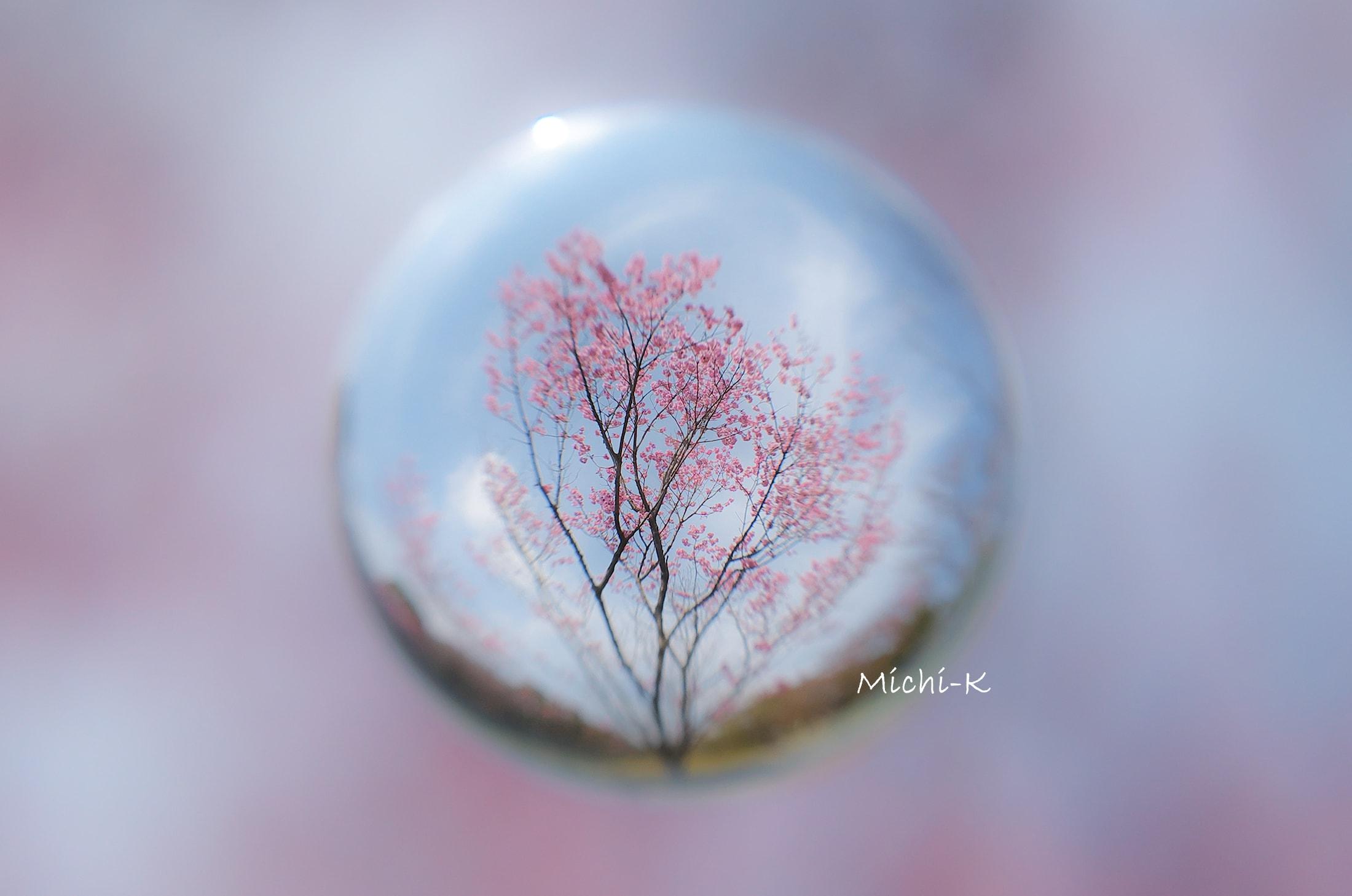 桜 (陽光) -そらたま-1