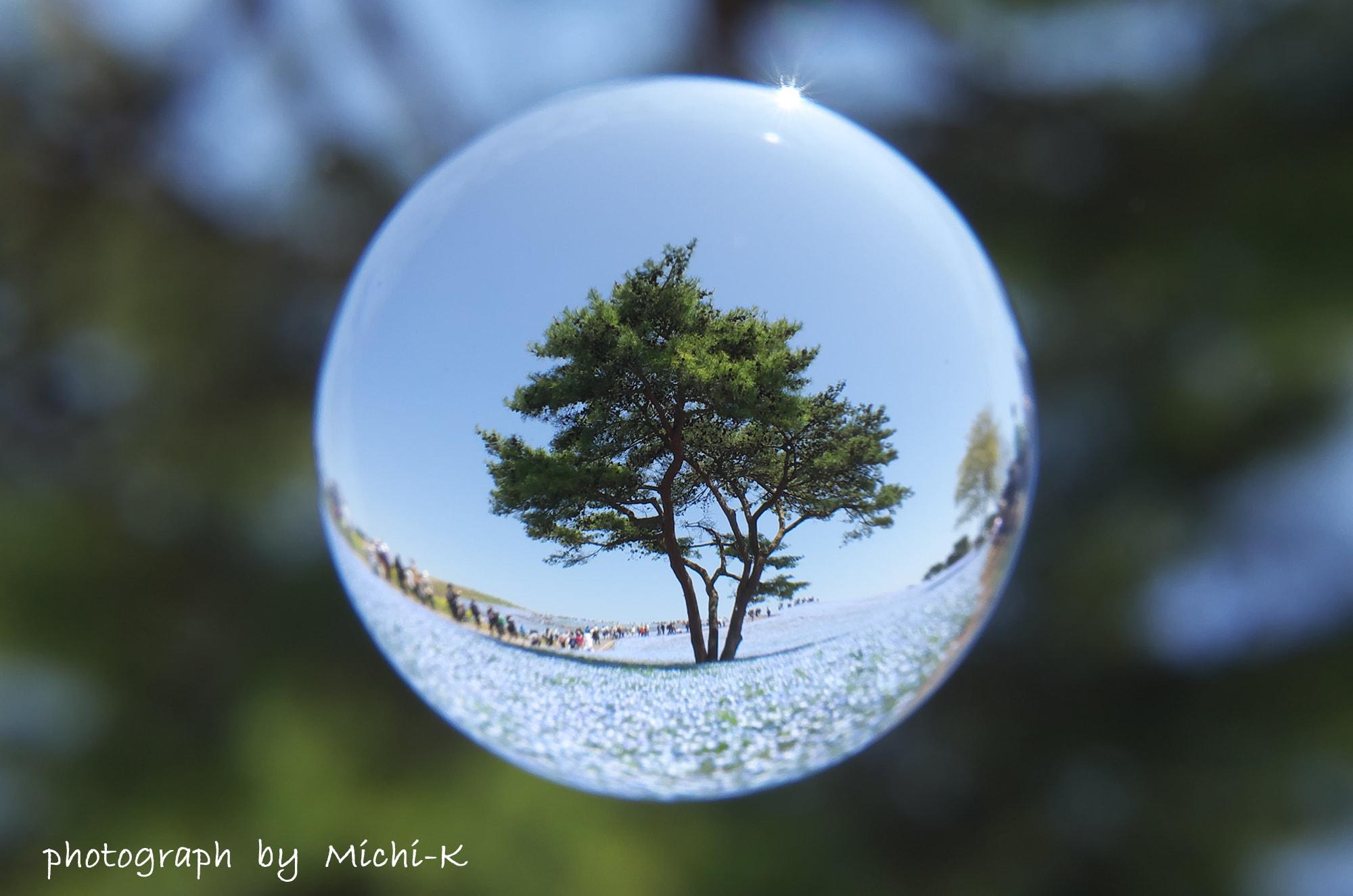 茨城県ひたちなか市「ひたち海浜公園」のネモフィラ-宙玉(そらたま)-7