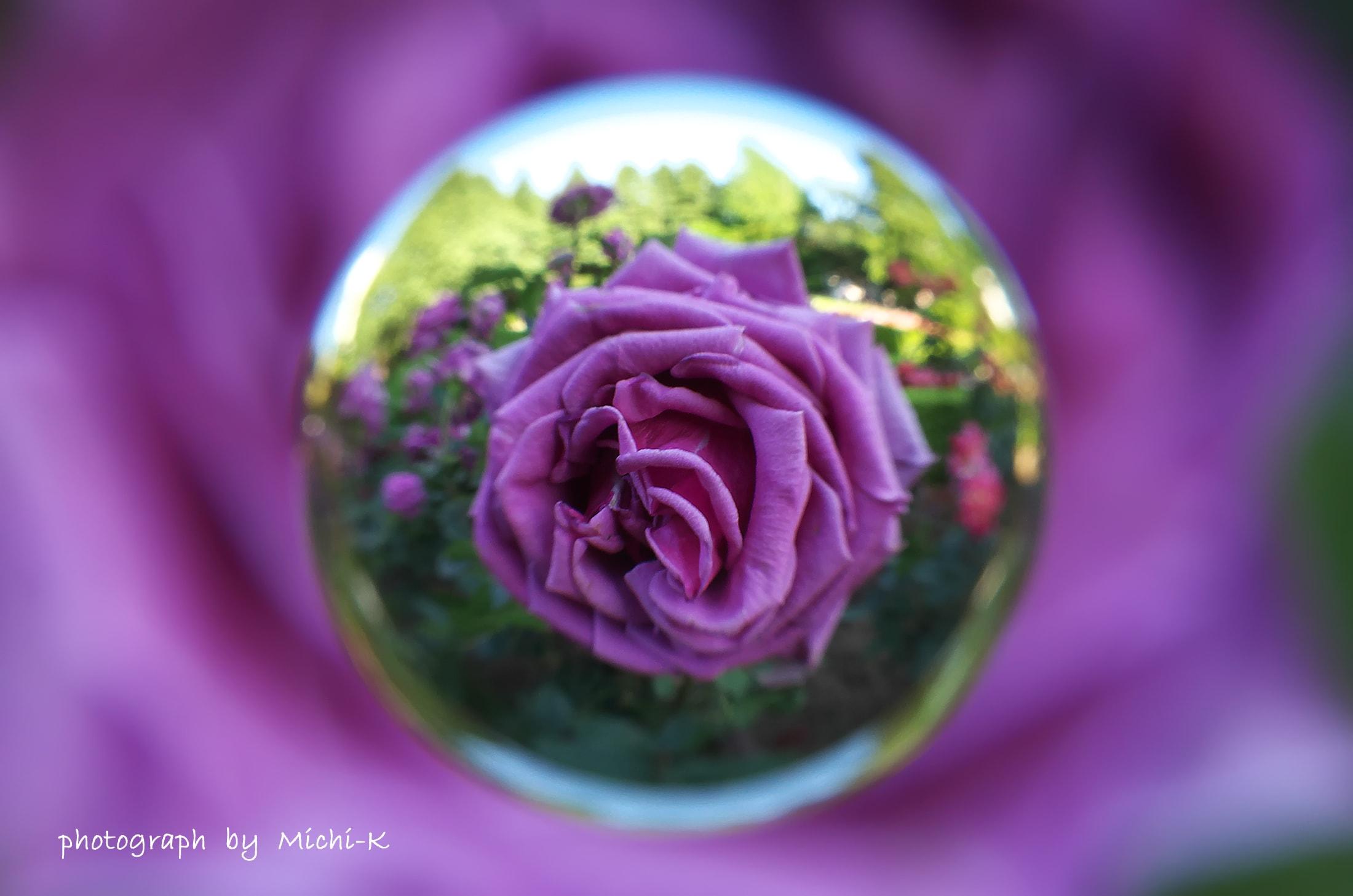 旧古河庭園バラ-宙玉1