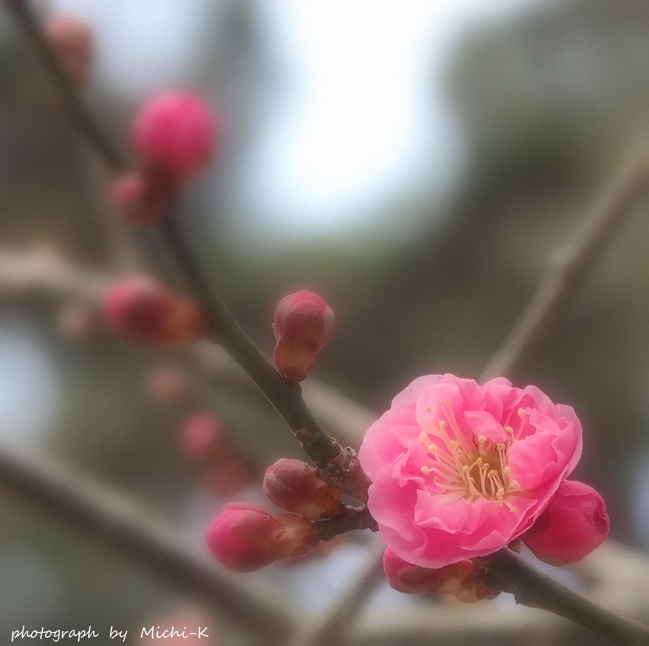 梅咲き始め
