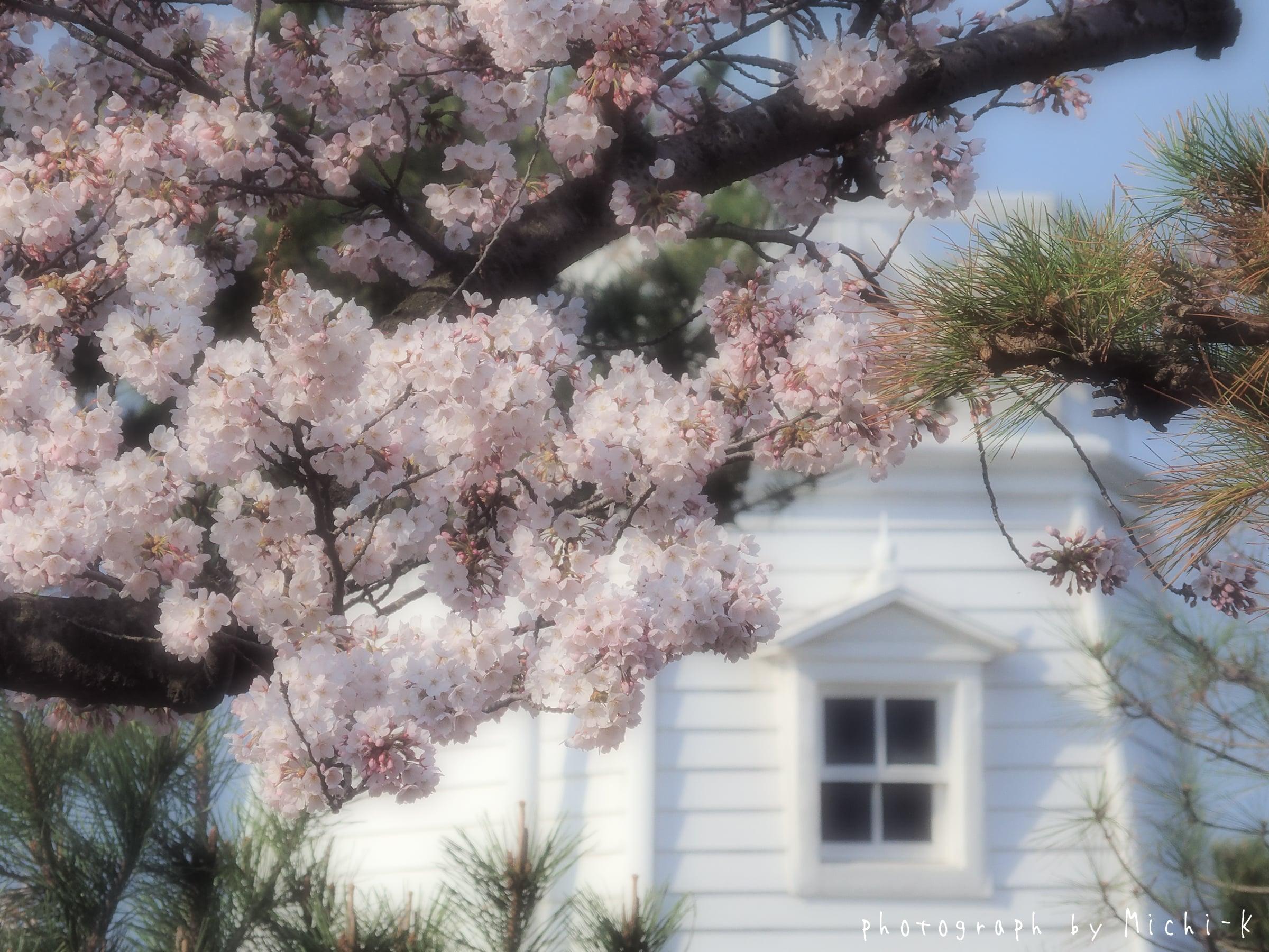 酒田市日和山公園、桜と灯台-2017/4/16 No.2