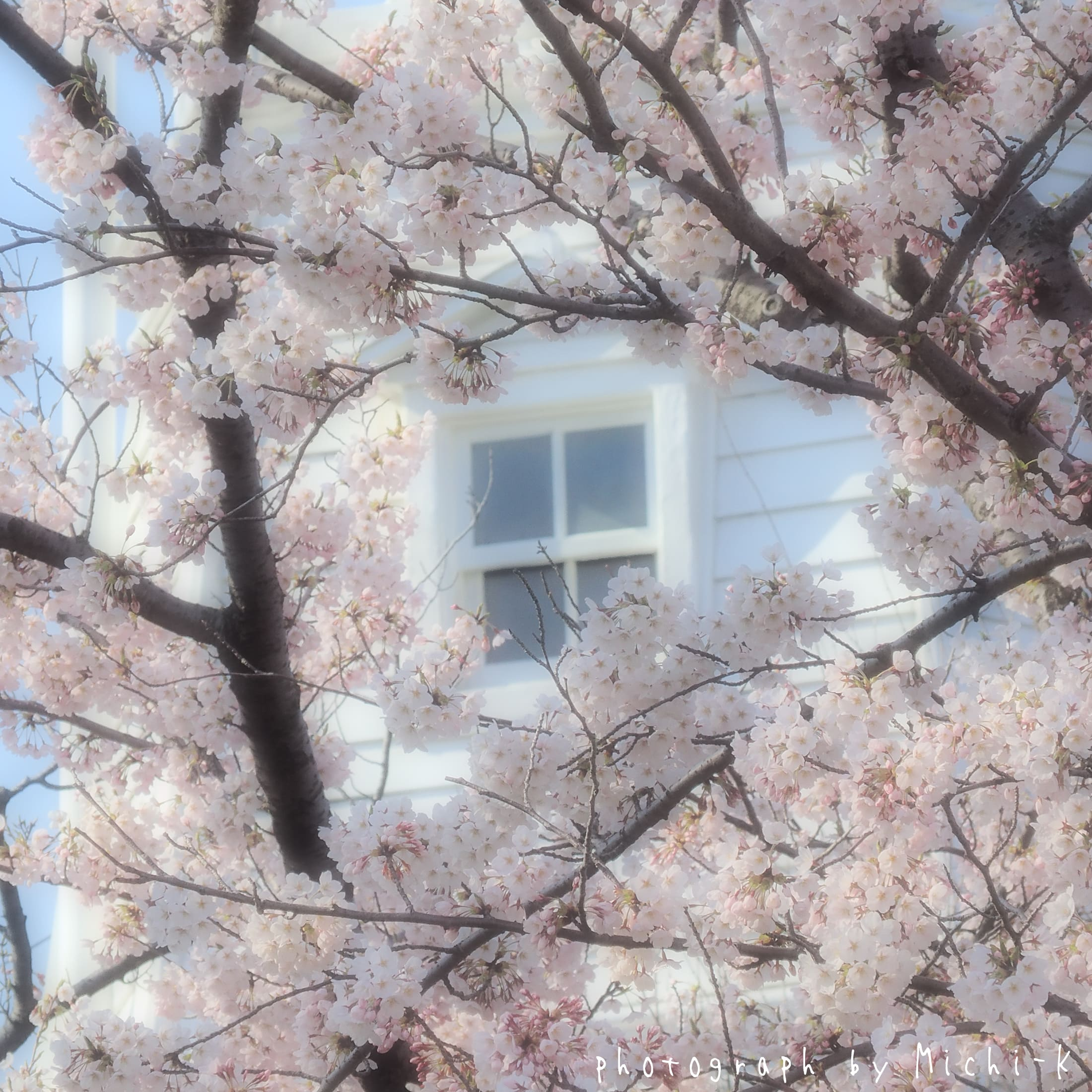酒田市日和山公園、桜と灯台-2017/4/16 No.3