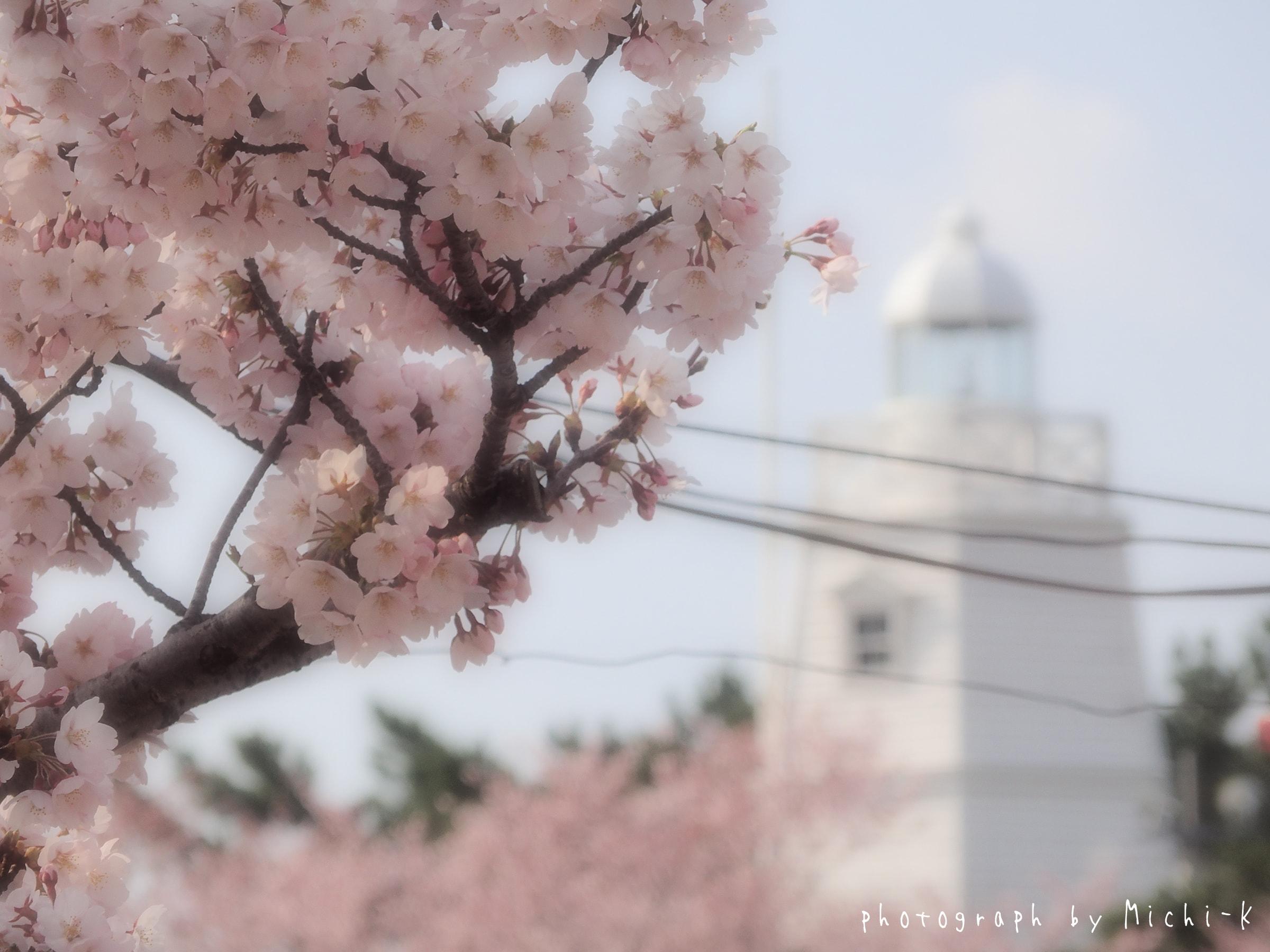 酒田市日和山公園、桜と灯台-2017/4/16 No.4
