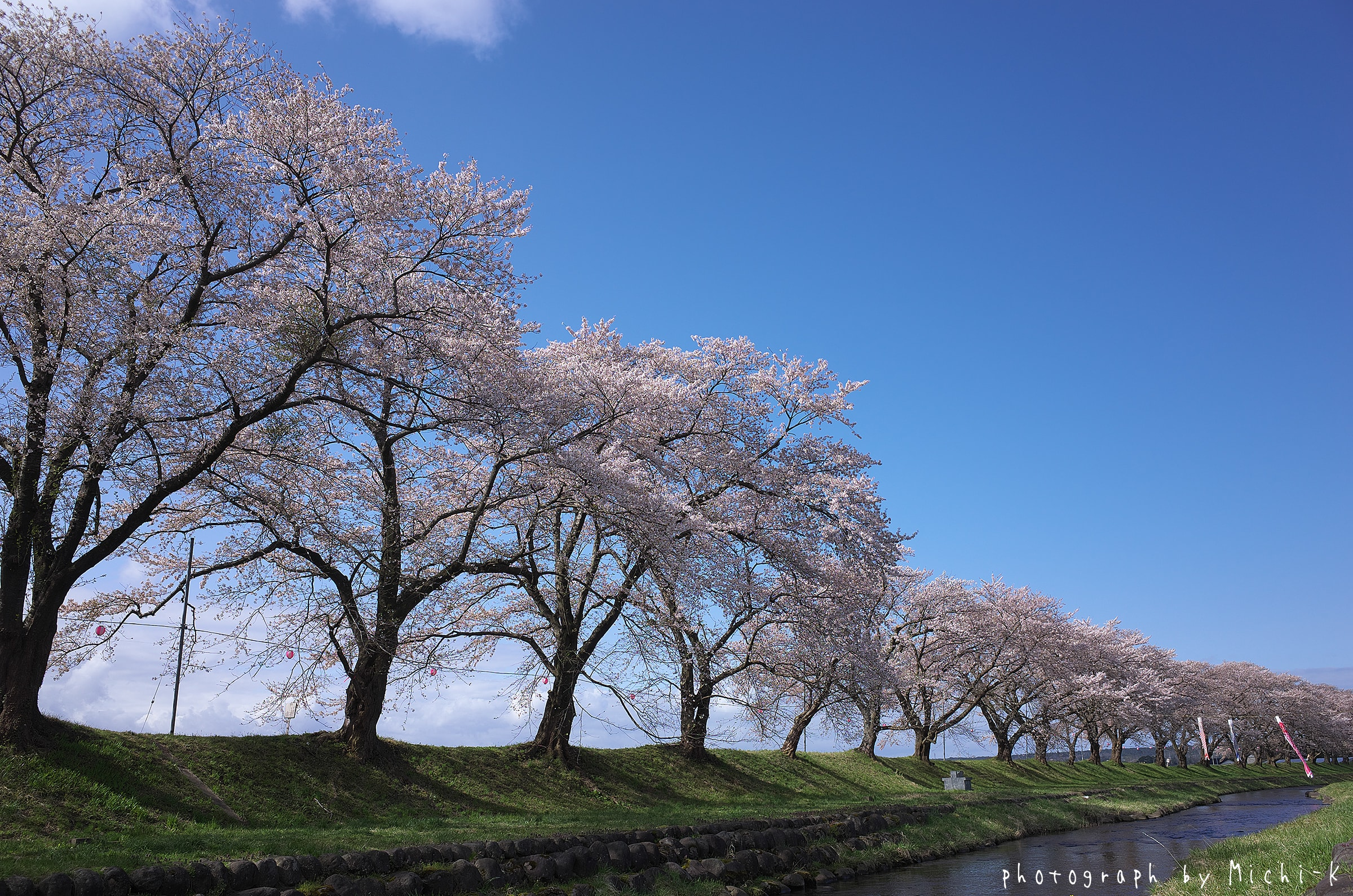 2017山形県遊佐町、中山河川公園の桜No.1