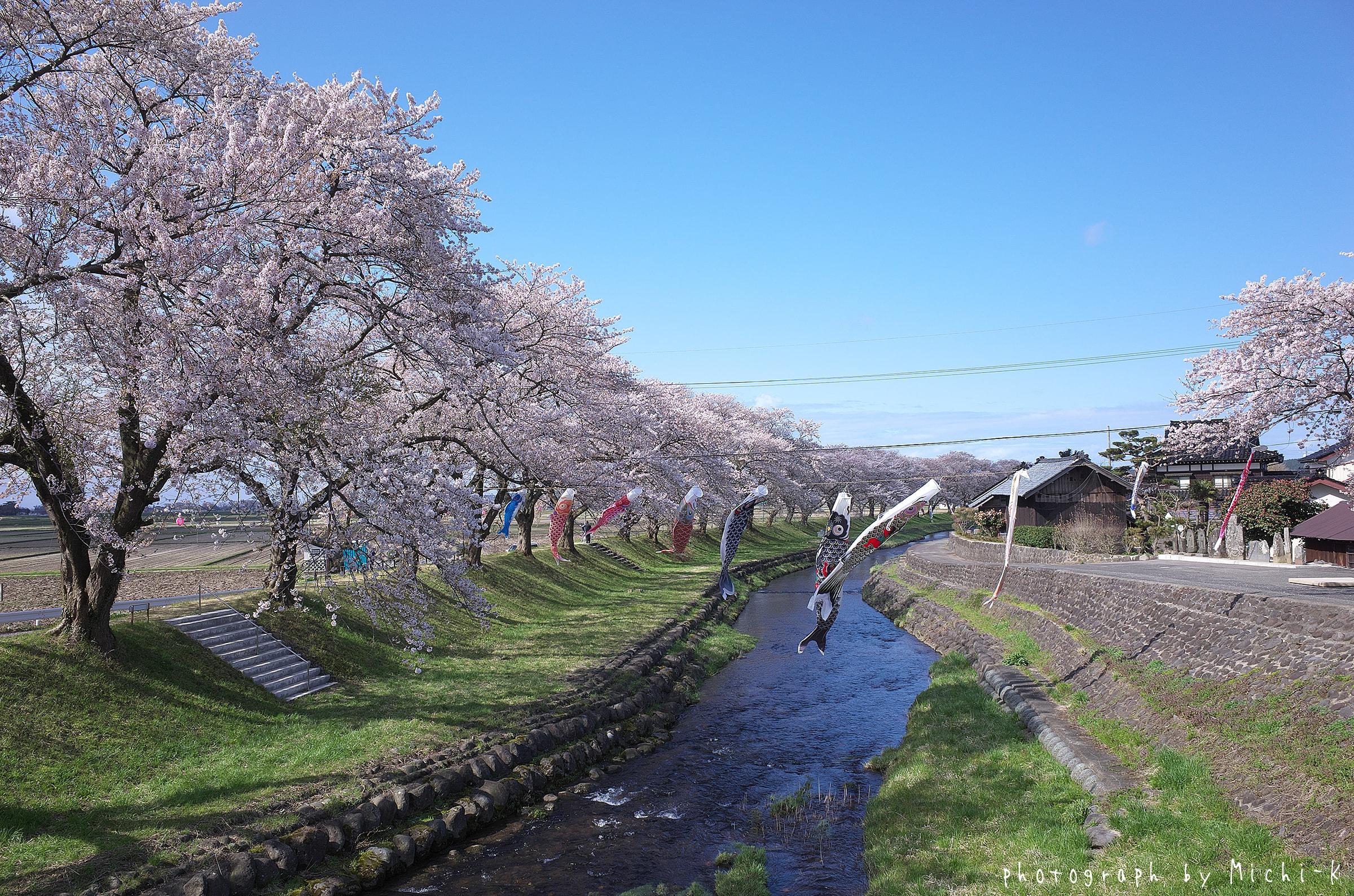 2017山形県遊佐町、中山河川公園の桜No.3