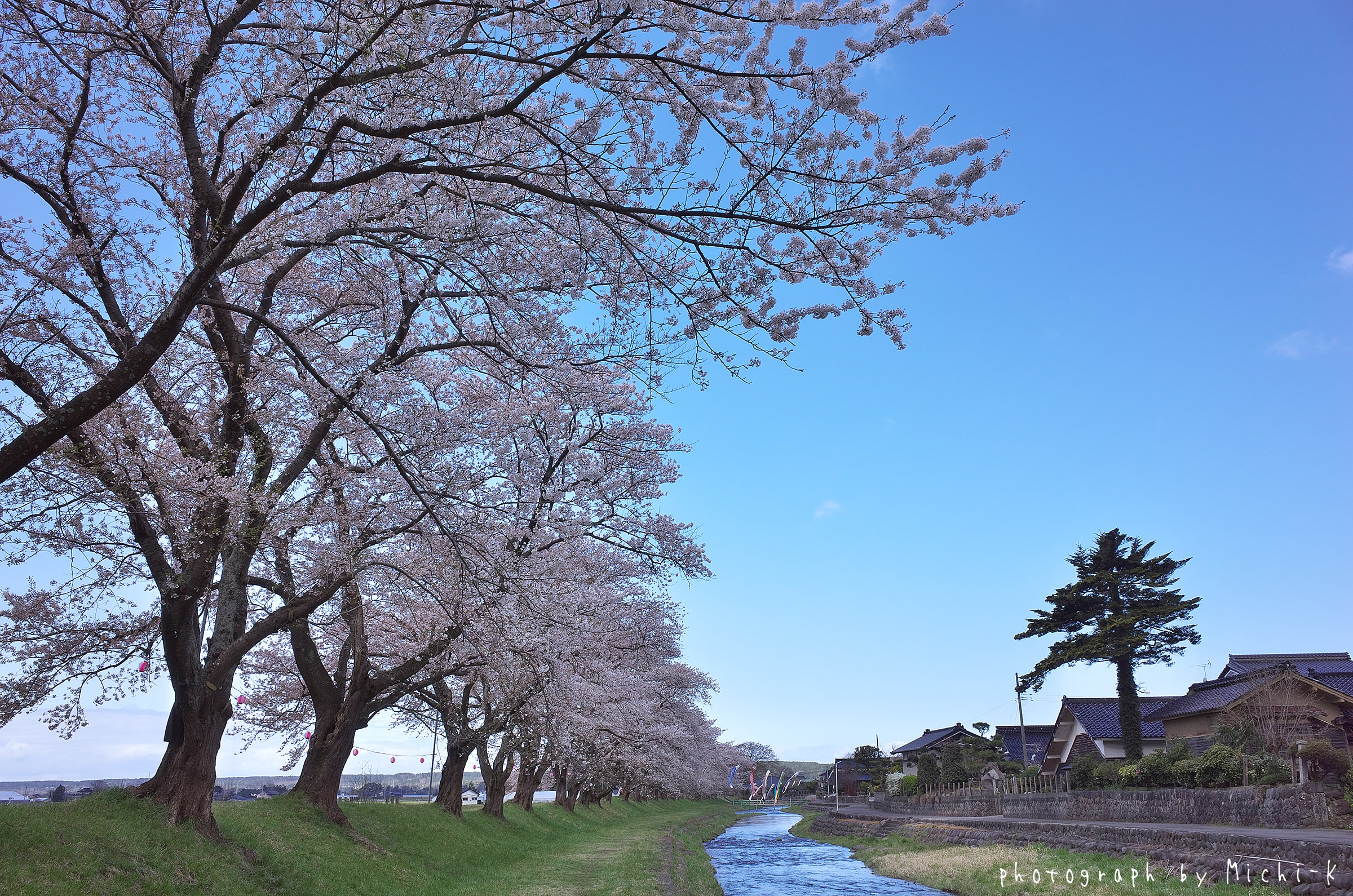 2017山形県遊佐町、中山河川公園の桜No.4