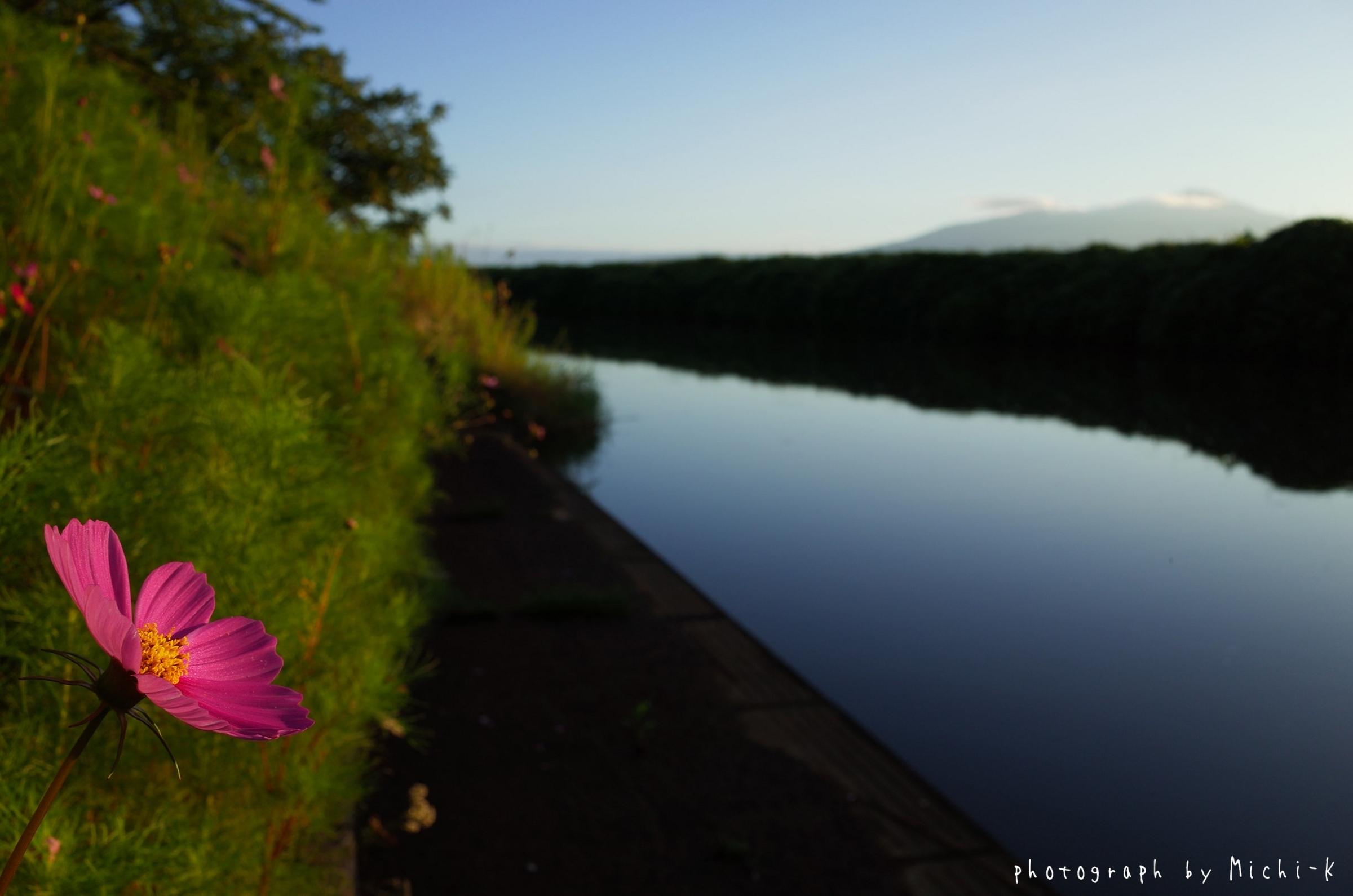 酒田市・幸福川沿いのコスモス1