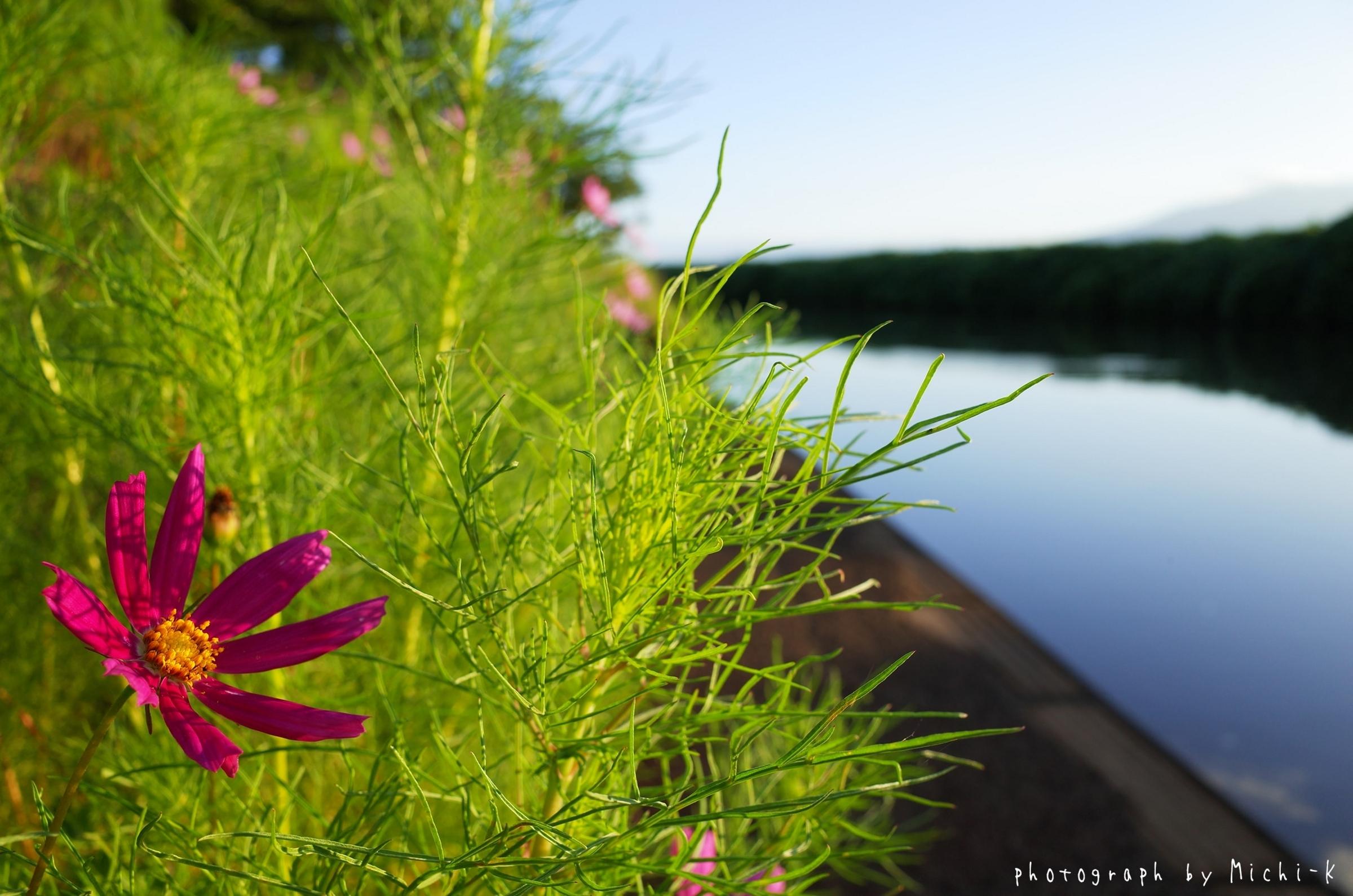 酒田市・幸福川沿いのコスモス2