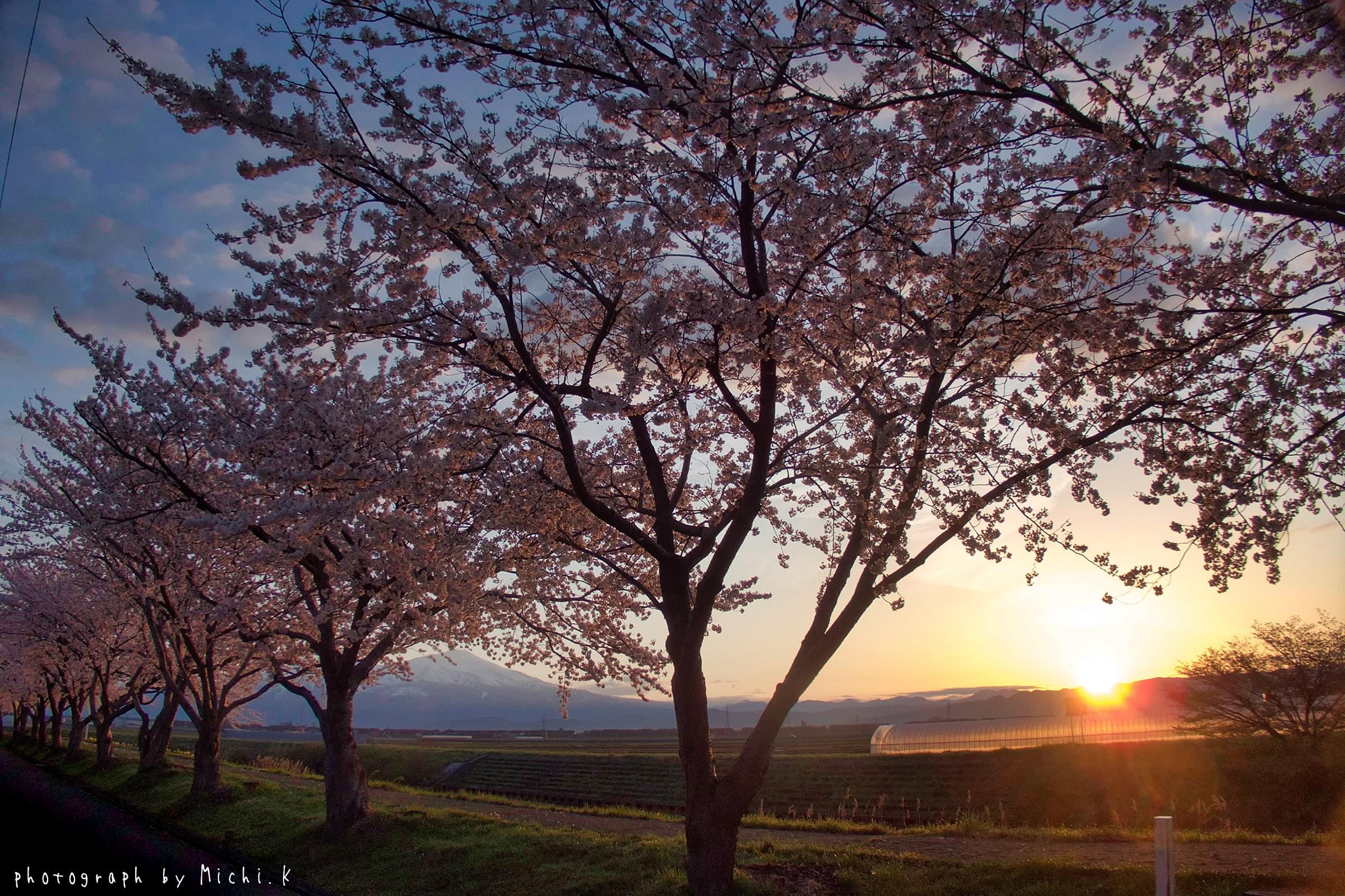 幸福川の桜2018-4-17(その1)